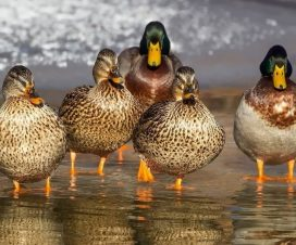 ördek bakımı ve yetiştiriciliği