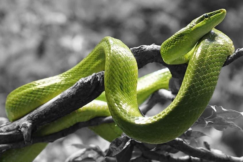 yılan, yılanlar