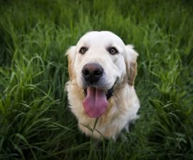 Köpekler Neden Ulur?